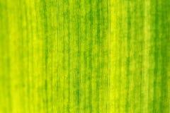 Закройте вверх лист банана, малой глубины поля, только центра в фокусе Текстура/предпосылка конспекта тропические естественные стоковые изображения