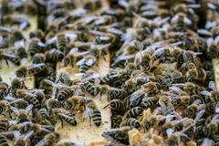 Закройте вверх по взгляду открытой крапивницы показывая рамки заселенные пчелами меда стоковое фото