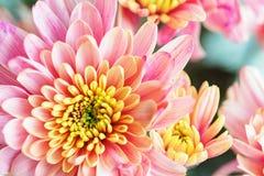 Закройте вверх по предпосылке розового и желтого цветка хризантемы, макроса стоковое изображение