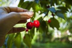 Закройте вверх рудоразборки руки женщины фермера, жмущ свежие зрелые вишни прямо от дерева, фильтр через листья, тень солнца стоковая фотография rf