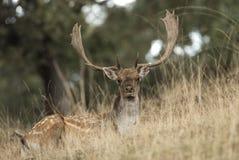 Залежные олени, dama Dama, Испания стоковая фотография