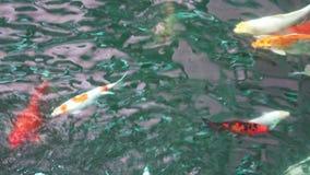 Запачканные конспектом причудливые рыбы карпа, рыбы koi, плавая в пруде сток-видео