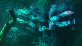 Заплыв рыб моря на заднем плане кораллового рифа Аквариум с морской флорой и фауной сток-видео