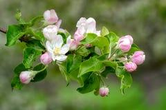 Зацветая время яблони весной стоковое фото rf