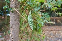 Зеленая груша бальзама Яблока бальзама, горький огурец, горькая тыква, горькая дыня в Гайане стоковые фото