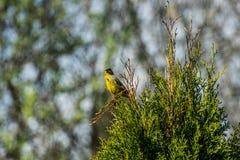 Зеленая птица на ветви биографической стоковые фотографии rf