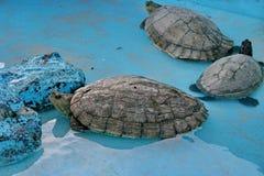 Зеленая черепаха, или зеленая морская черепаха, или Lat черепахи черепахи ½ das mà nia ³ Chelà вид морских черепах черепахи зелен стоковое фото
