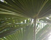 Зеленые листья пальмы с освещают светить контржурным светом через текстуру стоковое изображение