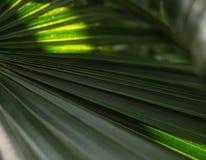 Зеленые листья пальмы с освещают светить контржурным светом через текстуру стоковые фотографии rf