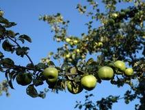 Зеленые яблоки растя на ветви дерева в яблоневом саде стоковое изображение rf