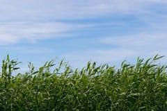 Зеленые тростник и небо стоковая фотография
