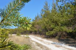 Green pine branches against the blue sky and pine forest. Forest road. Sunny day stock image