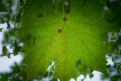 зеленый клен листьев стоковое фото rf