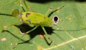 Зеленый кузнечик на лист дерева стоковые фотографии rf