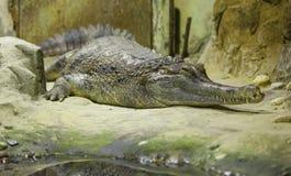 Зеленый крокодил около воды стоковая фотография rf