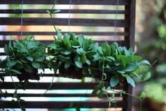 Зеленое дерево Дэйв вися на террасе, естественной предпосылке стоковые фотографии rf