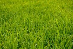 Зеленое фоновое изображение полей риса стоковое фото