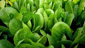 Зеленое растение oleracea индийского шпината стоковые фото
