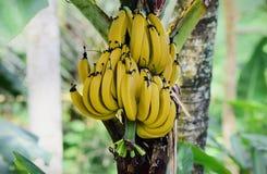 зрелые бананы на дереве, зрелые бананы в саде стоковые фотографии rf