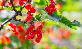 Зрелые ягоды красной смородины на кусте на ясном, солнечном day_ стоковое изображение