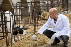 Зрелый ветеринарный техник работая с milky коровами в cowhouse outdoors стоковое фото