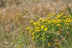 Золотая маргаритка в поле стоковые фото