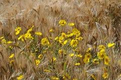 Золотая маргаритка в поле стоковая фотография rf
