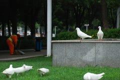 29 из могут 2014 белых голубя в общественном парке города в городе Yiwu, Китае стоковое изображение rf