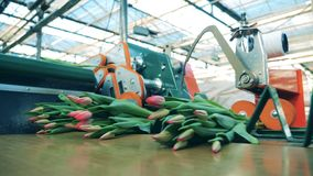 Индустрия цветков, продукция цветков Серии тюльпанов бросаются на транспортер видеоматериал