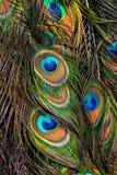 Кабель павлина стоковые изображения