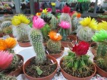 Кактусы с розовыми, желтыми, салатовыми цветками в магазине. royalty free stock images