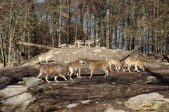Канадский волк в wildpark в Канаде стоковая фотография