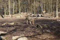 Канадский волк в wildpark в Канаде стоковые фото