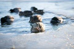Капание воды от дикого женского клюва утки кряквы пока плавающ с ее стадом в замороженных озере или пруде реки в выигрыше стоковые фотографии rf