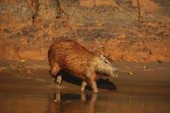 Капибара идя в маленький поток в джунглях Перу, фото принятого во время туристского путешествия стоковое фото