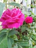 Касайтесь чувствительной розе стоковое фото rf