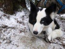 Катание на собачих упряжках. Dog sledding. royalty free stock photos