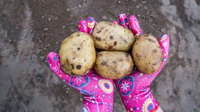 Картошки в руке Сбор осени стоковое фото rf