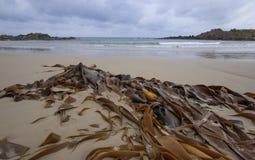 Келп Брауна на песчаном пляже стоковая фотография