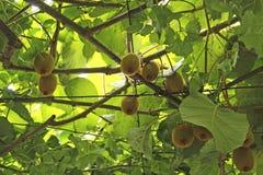 Киви на ветви, blured фокусе С ветвями и листьями Естественный сад в Черногории стоковые изображения