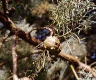 Кипарис Аризоны или коричневые конусы стоковое изображение rf