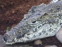 Кубинський крокодил наблюдая, как worl пошло мимо стоковые фотографии rf