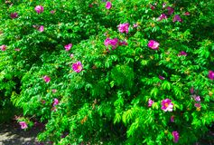 Куст розового бедра посыпанный с розовыми цветками стоковая фотография