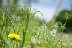 Курчавая высокорослая трава растя в луге стоковые фотографии rf