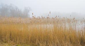 Край туманного озера с тростником в солнечном свете стоковые фото