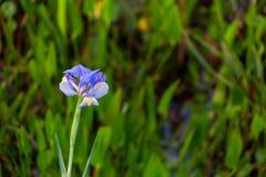 Красивая голубая радужка на заболоченных местах во Флориде стоковое фото rf