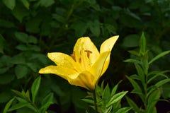 Красивая желтая лилия в саде стоковые изображения rf