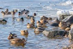 Красивая зима положения утки мандарина в воде на озере или реке стоковые изображения