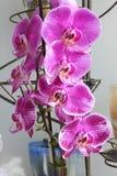 Красивая пурпурная орхидея с много лепестков стоковое изображение