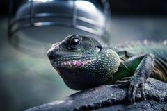 Красивая ящерица в своей окружающей среде стоковая фотография